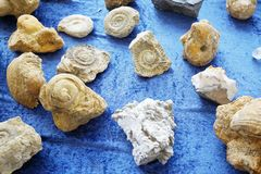 collection de fossiel d'ammonite Photos stock