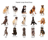 Collection de grands chiens populaires de race Photo stock