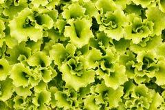 Collection de jeunes plantes de laitue pour la transplantation Photographie stock libre de droits