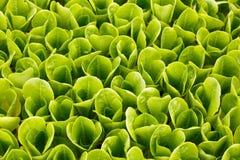 Collection de jeunes plantes de laitue pour la transplantation Images stock