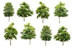 collection de l'arbre de liège indien (hortensis de Millingtonia) d'isolement photographie stock libre de droits