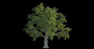 collection de la longueur 4k d'arbre venteux pour la visualisation architecturale avec le masque de coupe-circuit illustration libre de droits