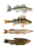 Collection de poissons d'isolement Photographie stock