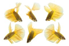 Collection de poissons jaunes de betta d'isolement sur le fond blanc Image stock