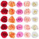 Collection de roses. Photo stock