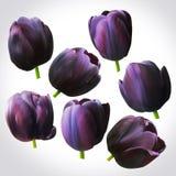 Collection de têtes noires de tulipes pour la conception Ensemble de bourgeons floraux Image libre de droits