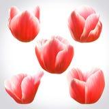 Collection de têtes rouges de tulipes pour la conception Ensemble de bourgeons floraux Photos libres de droits