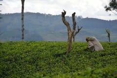 Collection de thé de la Ceylan Images libres de droits