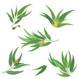 Collection de vecteur de feuilles d'eucalyptus, fleurs illustration stock