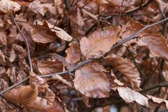Dead Brown Leaves. A collection of dead brown leaves in winter stock photography