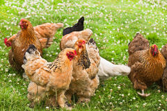 Collection of decorative chicken Royalty Free Stock Images