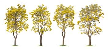 Collection des arbres de trompette argentés d'isolement ou du Tabebuia jaune sur le fond blanc image libre de droits