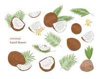 Collection of detailed botanical drawings of whole and split coconut and palm tree leaves isolated on white background. Edible fresh exotic tropical fruit or Royalty Free Stock Photo