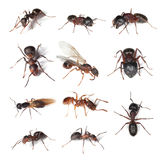 Collection of different ants isolated on white Royalty Free Stock Photo