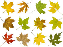 Collection of different autumn leaves of maple tree Royalty Free Stock Images