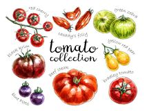 Collection of different colored tomatoes. vector illustration