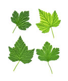 Collection of different green leaves Royalty Free Stock Photos