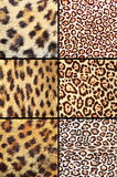 Collection of different leopard pelts Stock Image