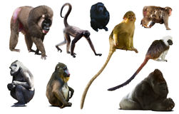 Collection of different monkeys. Set of primates isolated on white background royalty free stock photo