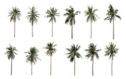 Collection Different Palms coconut the garden isolated. On white background Royalty Free Stock Photo
