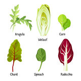 Collection of different plants arugula, witloof, corn, chard, spinach, radicchio Royalty Free Stock Photography