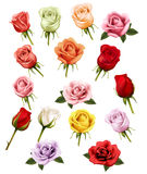 Collection of different roses. Stock Image