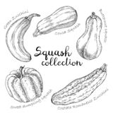 Collection of different vector squashes. royalty free illustration