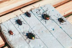 Collection of dry beetles on white foam Royalty Free Stock Photography