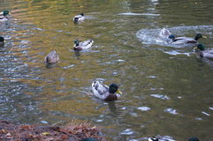 Collection of ducks. Ducks bobbing and moving in the lake Stock Images