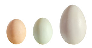 Collection of eggs, large white goose egg, light green duck egg, light brown chicken egg, isolated on white background, close up stock image