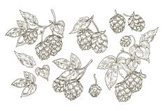 Collection of elegant botanical drawings of hop parts. Set of contour flowers and leaves of plant isolated on white. Background. Vector illustration in vintage Royalty Free Stock Images