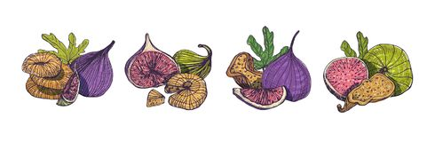 Collection of elegant detailed natural drawings of fig isolated on white background. Bundle of whole and cut exotic. Dried fruits hand drawn in beautiful Royalty Free Stock Photo