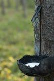 Collection en tapant le latex des arbres Image libre de droits
