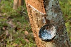 Collection en tapant le latex des arbres Images stock