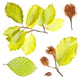 Collection of european beech leaves Royalty Free Stock Images
