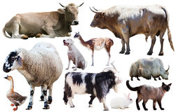Collection farm animals. Set of various farming animals including cattle and pets isolated Royalty Free Stock Images