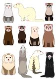 Collection of ferrets. With various sizes, colors and patterns vector illustration