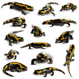 Collection of Fire salamanders Royalty Free Stock Photo