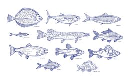 Collection of fish hand drawn with blue contour lines on white background. Bundle underwater animals or creatures living. In sea and ocean. Monochrome vector Stock Images