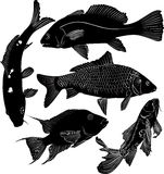 Collection of fish. Salmon aquarium fish Stock Image