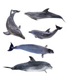 Collection of five isolated grey dolphins Stock Photo