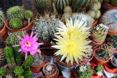 Collection of flowering cactus in a greenhouse. Collection of cactus in a greenhouse with yellow and pink flowers royalty free stock photography