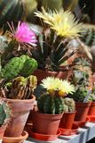 A collection of flowering potted cacti. In a greenhouse stock image