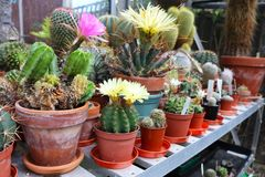 Collection of flowering potted cacti in a greenhouse. A collection of flowering cacti in a greenhouse setting landscape royalty free stock photo