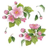 Collection of flowers, leaves, buds, branches flowers of pink apple tree. Set watercolor elements on white background. Collection of flowers, leaves, buds Stock Images