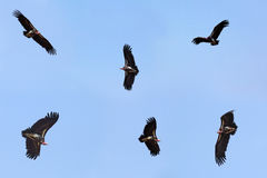Collection of flying nubian vultures Stock Photos