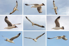 Collection of flying seagull birds on blue sky background. Summer beach themes.  Royalty Free Stock Photo