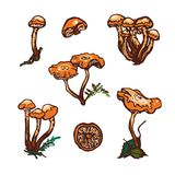 Collection of forest wild mushrooms. Honey mushrooms. Set. Hand drawn. Vector illustration Royalty Free Stock Photography