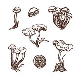 Collection of forest wild mushrooms. Honey mushrooms. Set. Hand drawn. Vector illustration Stock Images