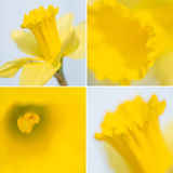 Collection of four daffodil images Stock Images